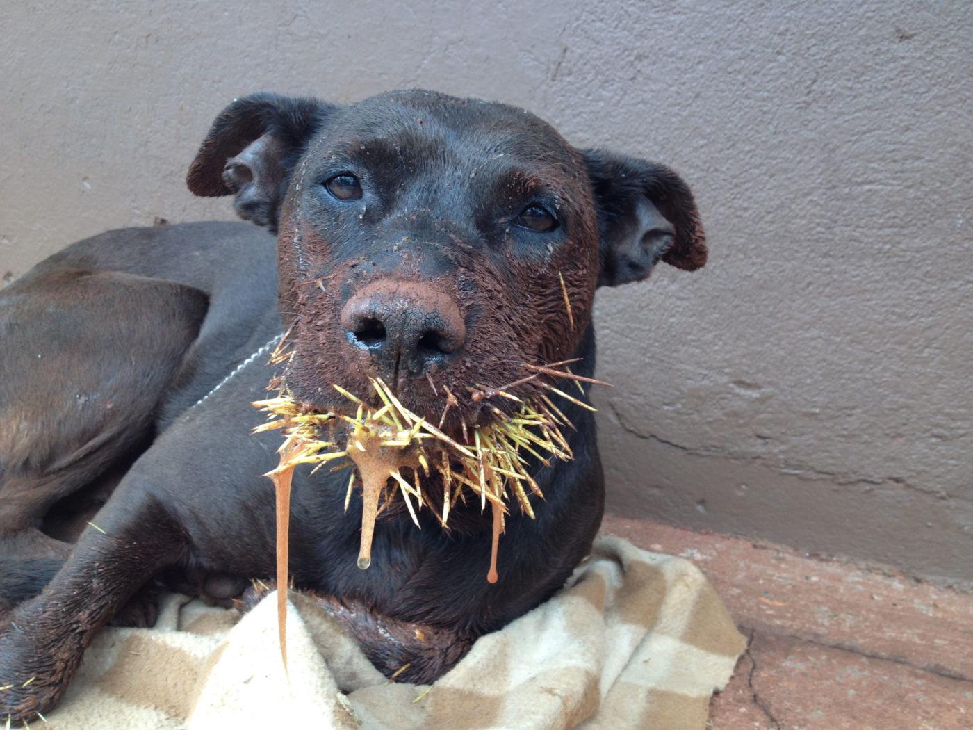 Cachorro com espinhos na boca