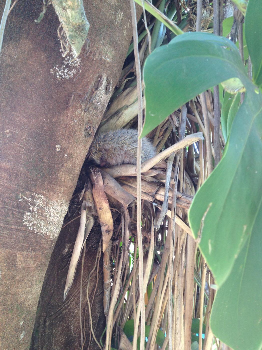 Porco-espinho no ninho