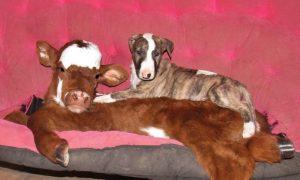 cama-cachorro-pet-gato-moonpie-mini-vaca-2