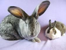 Coelho normal x mini coelho