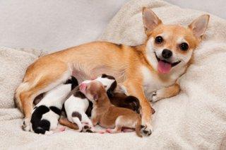 Cachorra amamentando seus filhotes