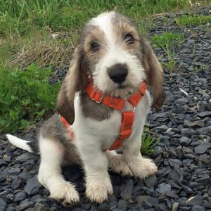 cama-pet-cachorro-gato-brandina-suspensa-lassie-sebastian-grand-basset-griffon-vendeen