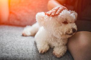 Purebred white Bichon Frise dog