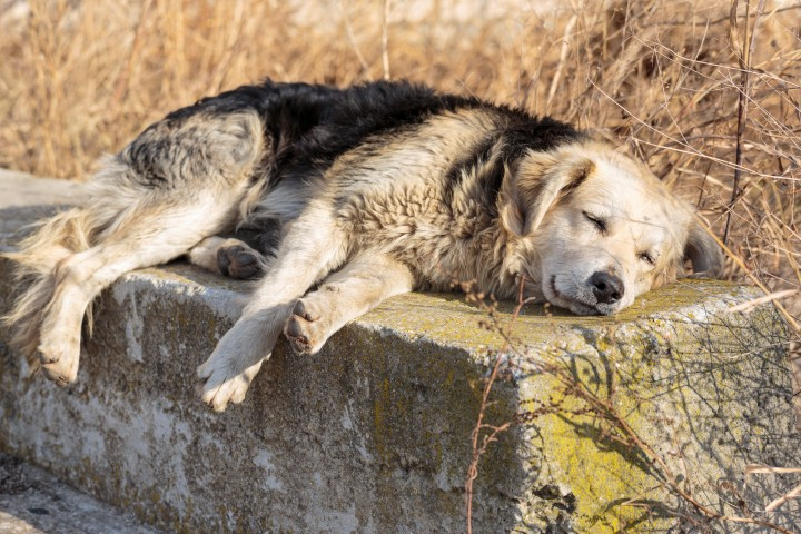 cachorro-doente