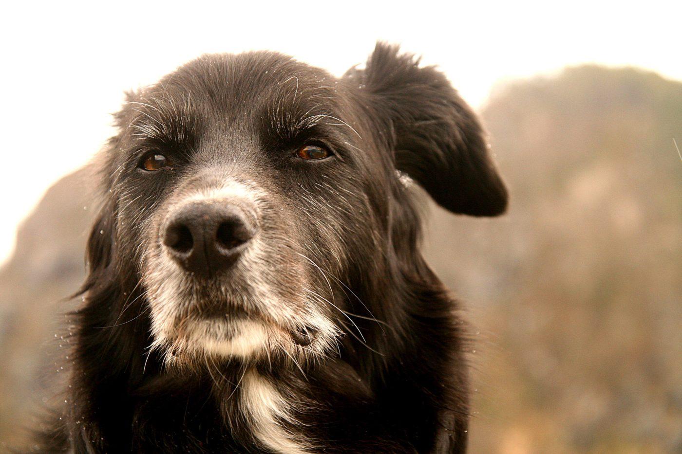 Comportamento cães idosos pode ser mais comunicativos