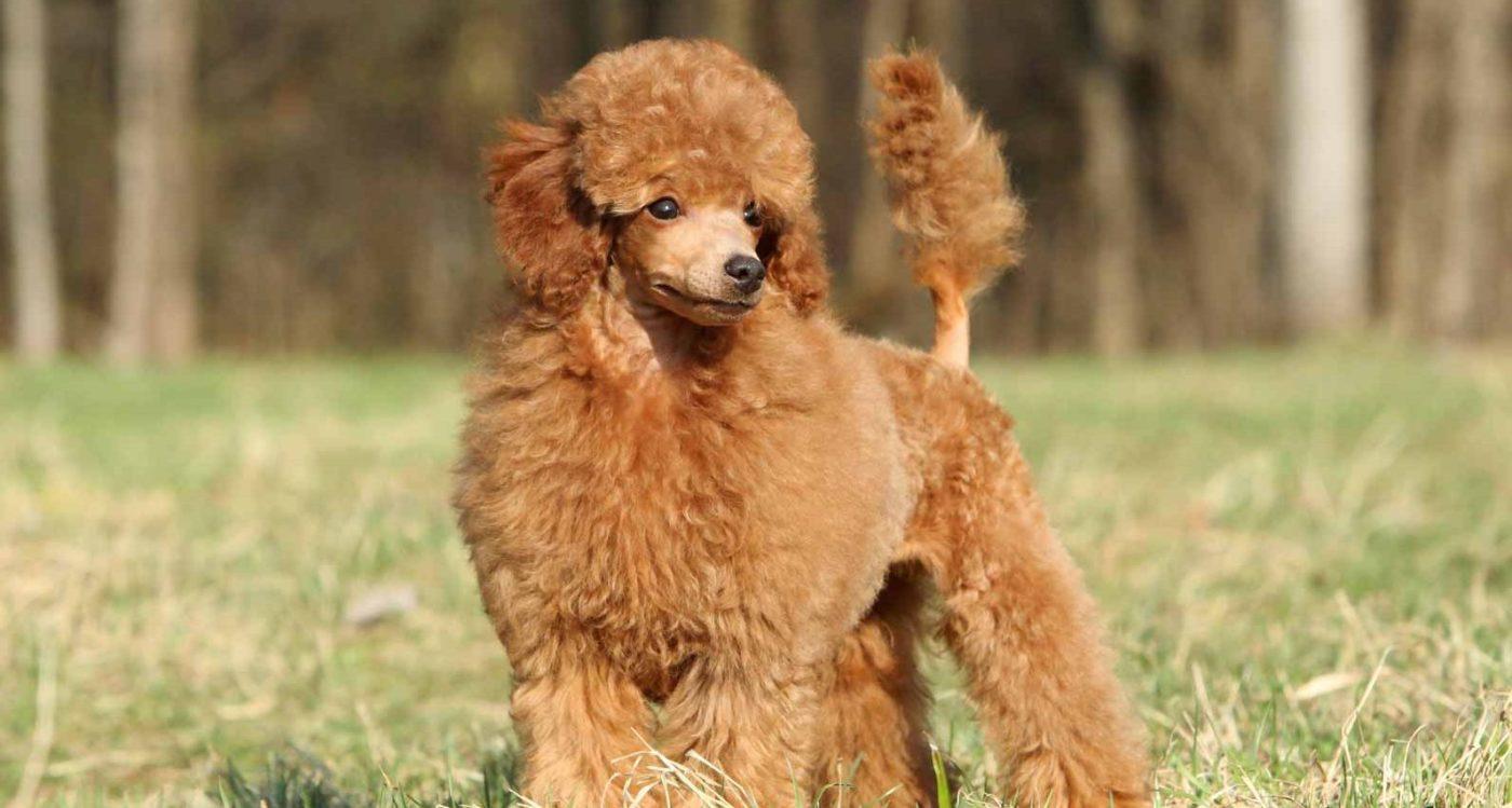 Lassie_Toy-Poodle