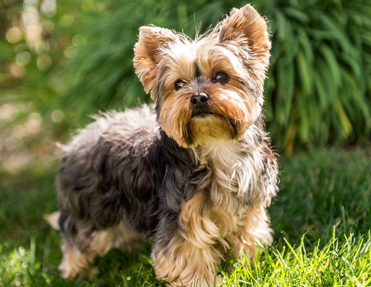 Lassie_Yorkshire-Terrier