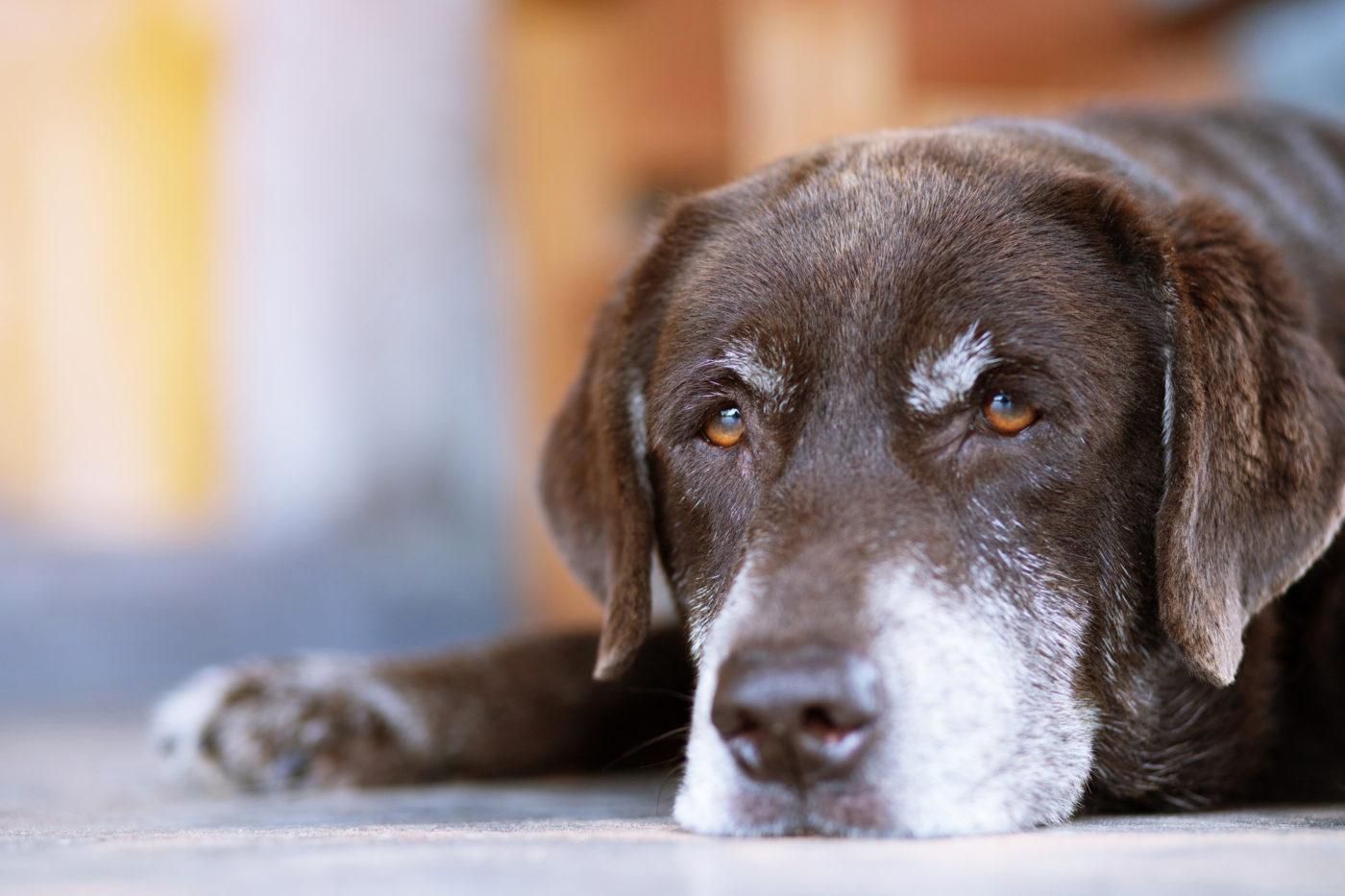 Incontinência urinaria e fecal - sintomas de cão idoso