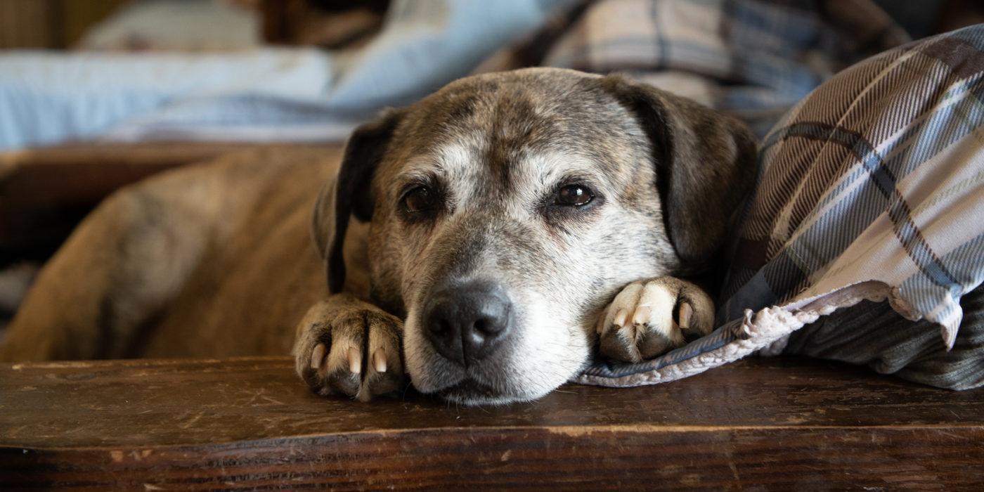 Comportamento dos cães idosos não gostam de barulhos