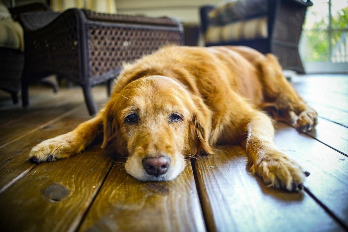 Comportamento dos cães idosos