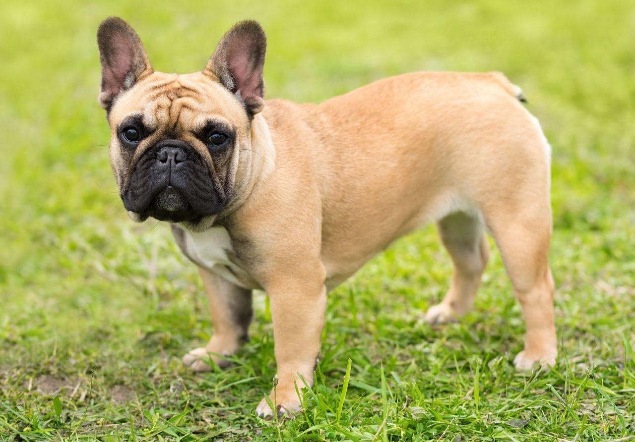 lassie_bulldog_frances_01