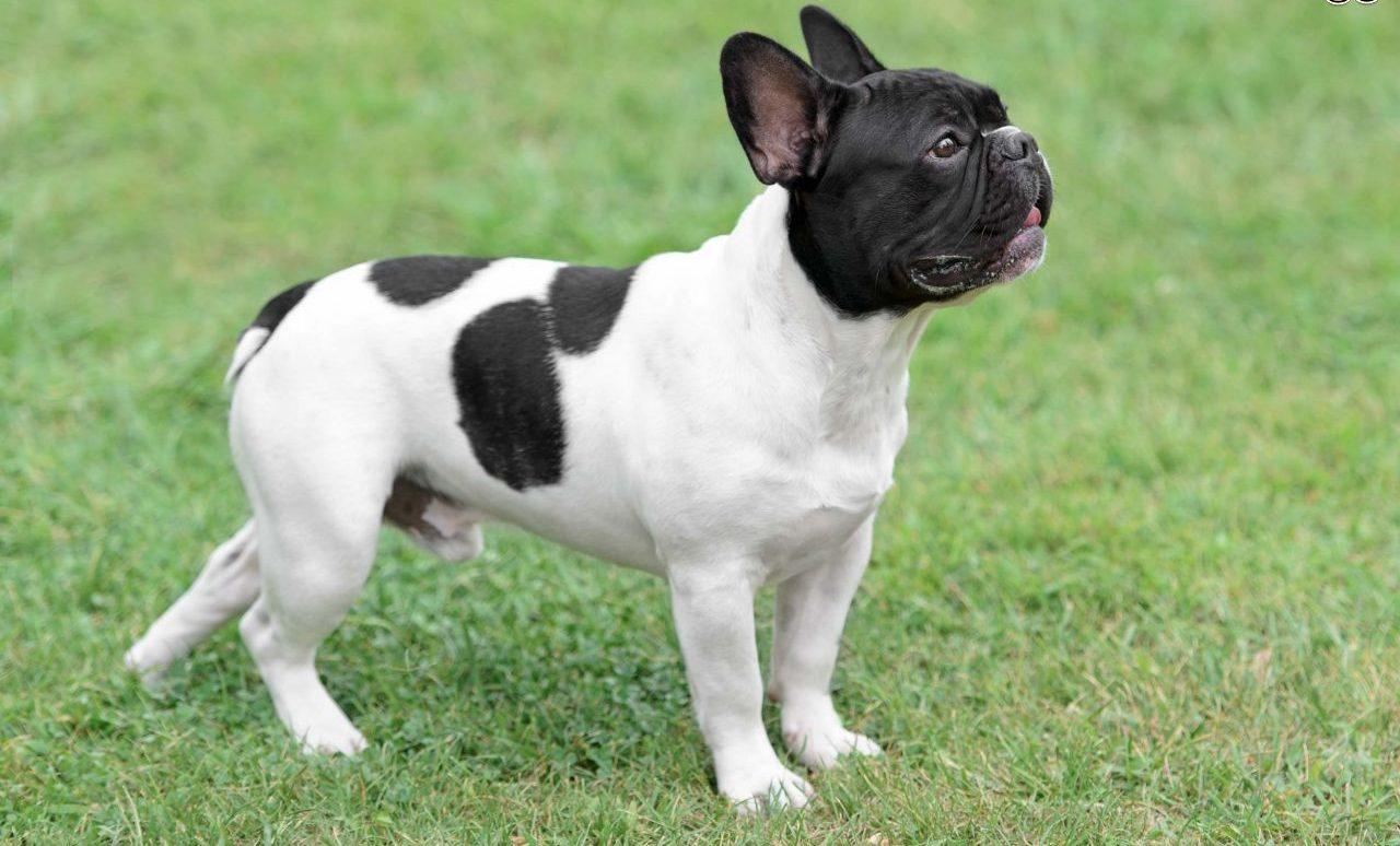 lassie_bulldog_frances_02