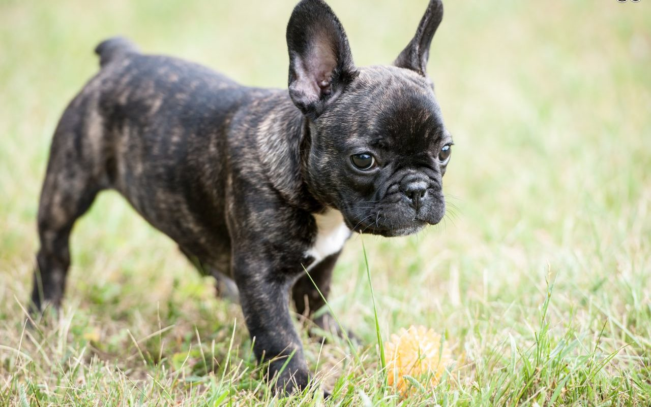 lassie_bulldog_frances_03
