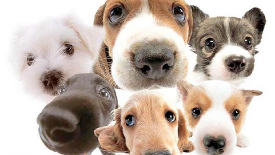 lassie-bigodes-caninos-02