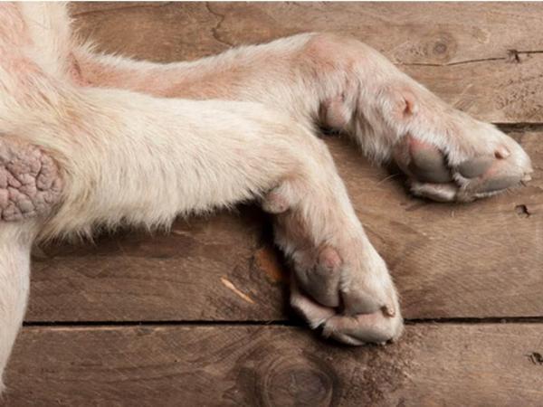 Calos Caninos - demais doenças