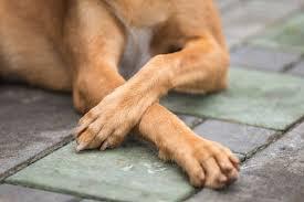Calo nos cotovelos dos cachorros - principal causa