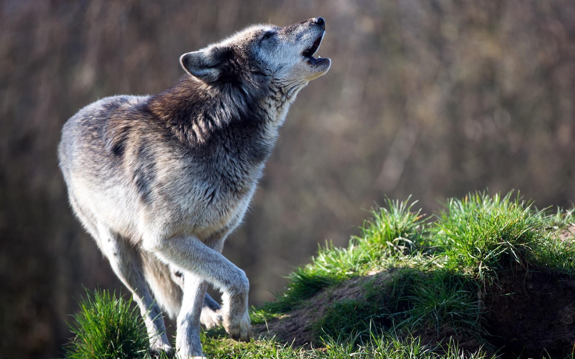 O uivo é uma ferramenta de comunicação dos lobos
